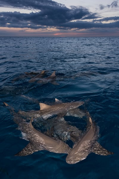 Lemon Sharks Sunset, Tiger Beach, Bahamas