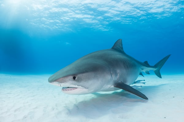 Tiger Shark, Tiger Beach, Bahamas
