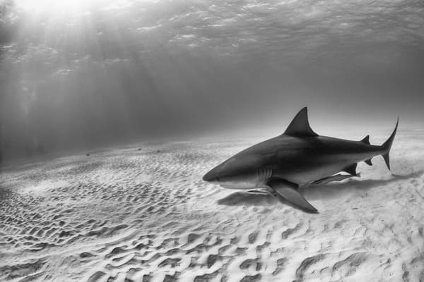 Bull Shark BW, Tiger Beach, Bahamas