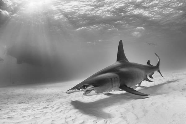Great Hammerhead Sun Rays BW, Tiger Beach, Bahamas