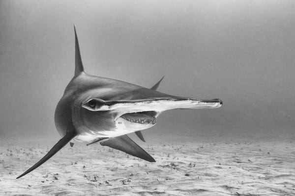 Great Hammerhead Profile BW, Tiger Beach, Bahamas