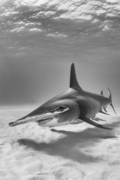 Great Hammerhead Vertical BW, Tiger Beach, Bahamas