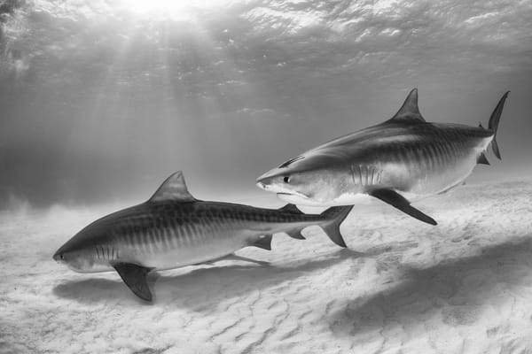 Tiger Shark Pair BW, Tiger Beach, Bahamas