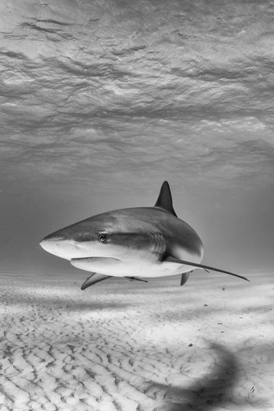 Caribbean Reef Shark BW, Tiger Beach, Bahamas
