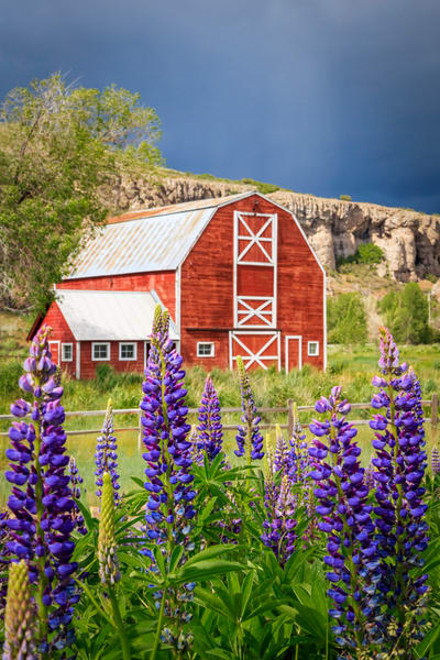 francis barn with lupine wildflowers