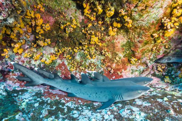 Whitetip Reef Sharks Juveniles, Roca Partida, Mexico