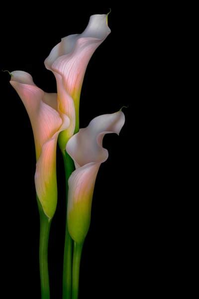 champagne calla lilies     Brad Oliphant Photograpy