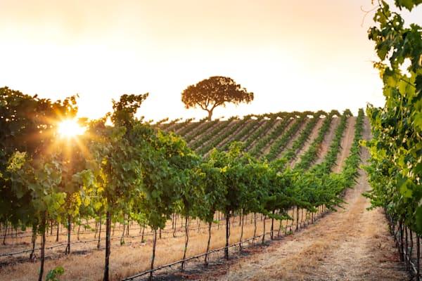 """""""Vineyard Morning"""""""