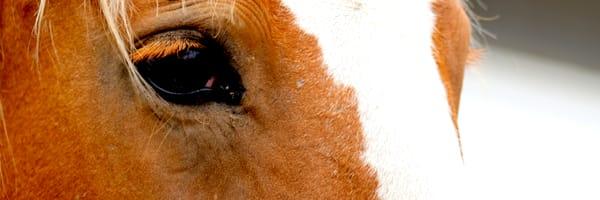 Horse Eye Lashes