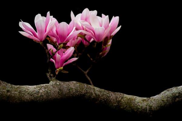 pink magnolia flowers     Brad Oliphant Photography