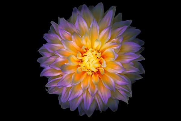 purple and yellow dahlia flower     Brad Oliphant Photography