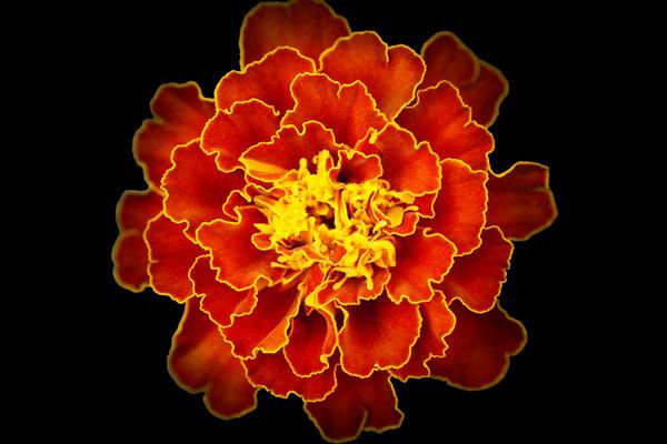 a orange marigold flower     Brad Oliphant Photography