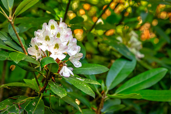 Wild rhododenron Nantahala Mountains photography prints