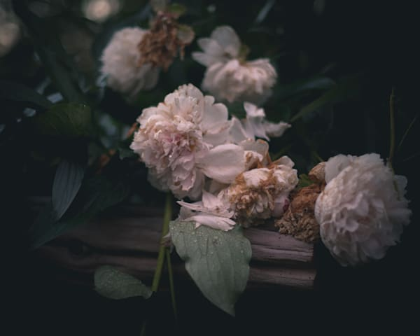 Dying Peonies Photography Art | Sage & Balm Photography