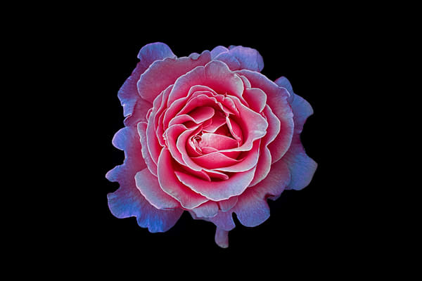 pink macro rose     Brad Oliphant Photography