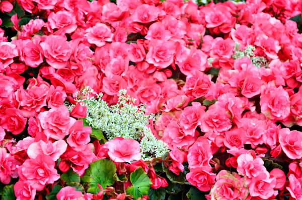 A Field Of Begonias Art | KAT MILLER-PHOTO ARTIST