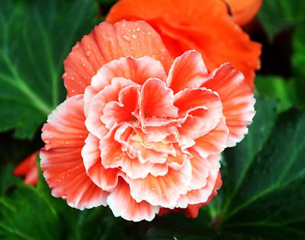 Begonia Ruffles