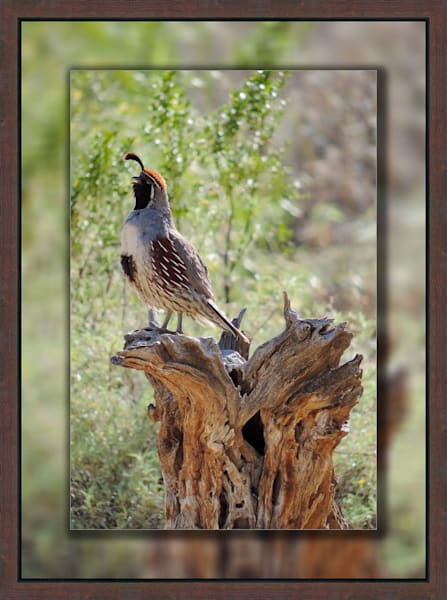 Quail - Male Singing 3D Reclaimed Timbers Narrow