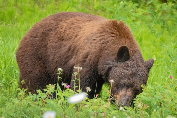 Cinnamon and Blossoms, cinnamon black bear eating flowers
