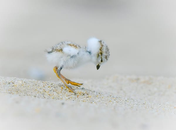 Piping Plover Chick 5