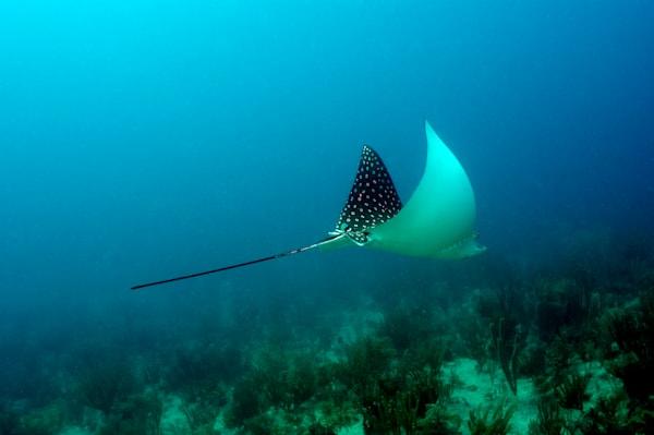 Spotted Eagle Ray, British Virgin Islands Art   photographicsart