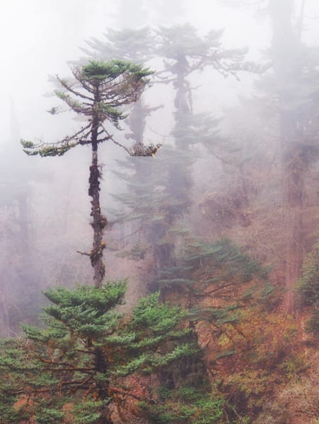 Cypress in the Mist