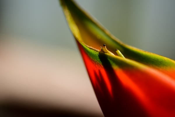 Bird Of Paradise Photography Art by Colin Hocking Photography