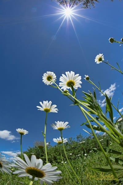 White Daisy Sunburst 0113 Art | Koral Martin Fine Art Photography
