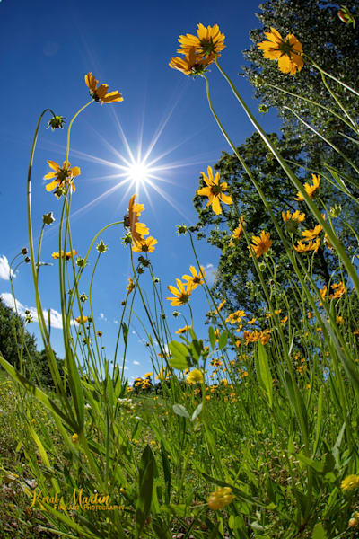 Field of Coreopsis Photograph with Sun Burst 0129 | Widower  photography |  Koral Martin Fine Art Photography