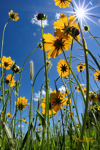 Field of Coreopsis Photograph with Sun Burst 0137 | Widower  photography |  Koral Martin Fine Art Photography