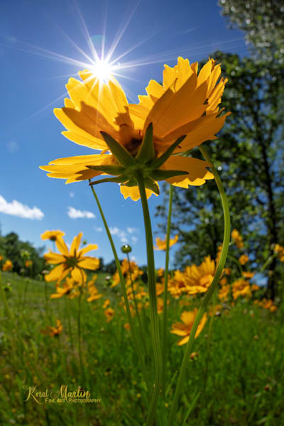 Coreopsis Photograph with Sun Burst 0121 | Widower  photography |  Koral Martin Fine Art Photography