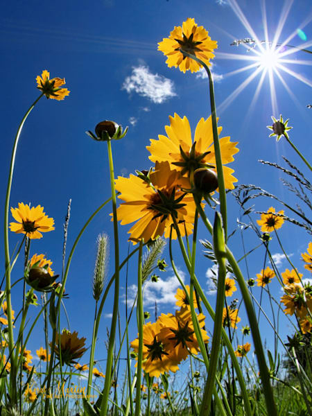 Field of Coreopsis taken from below with Sunburst
