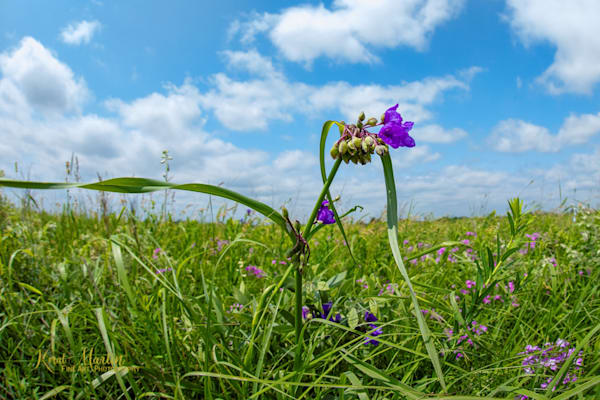 Prairie View with Spiderwort
