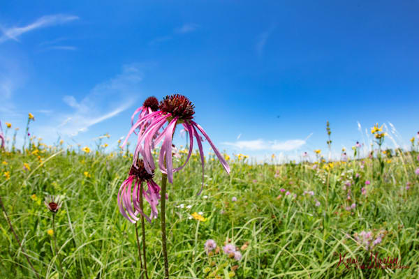 Field of Coneflowers Photography with DFE 1054 | Wildflower Photography | Koral Martin Fine Art Photography