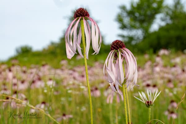 Field of Coneflowers Photography with DFE 1265 | Wildflower Photography | Koral Martin Fine Art Photography