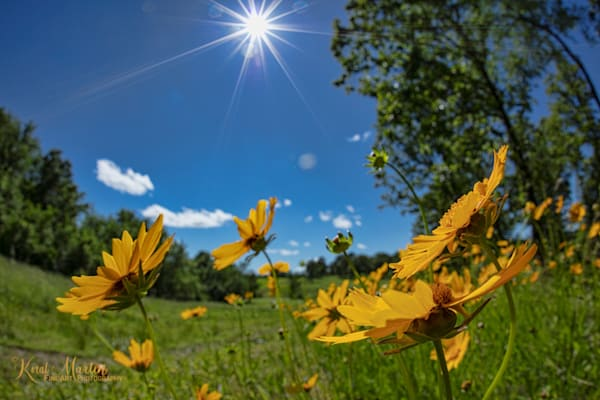 Field of Wild Daisies Photograph with Sun Burst 0125| Widower  photography |  Koral Martin Fine Art Photography