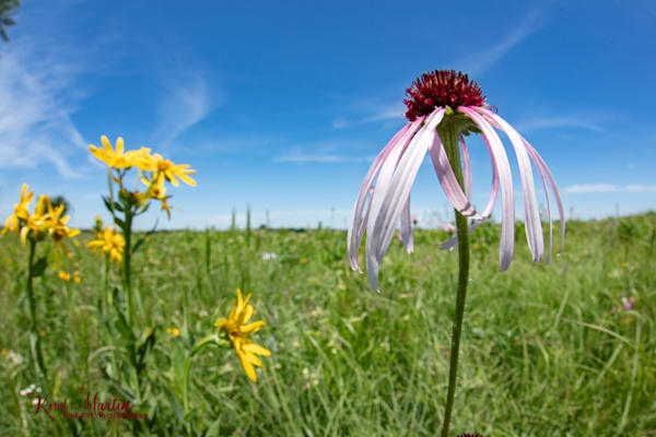 Field of Coneflowers Photography with DFE 0920| Wildflower Photography | Koral Martin Fine Art Photography