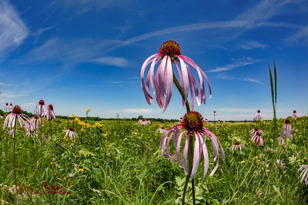 Field of Coneflowers Photography with DFE 0935 | Wildflower Photography | Koral Martin Fine Art Photography