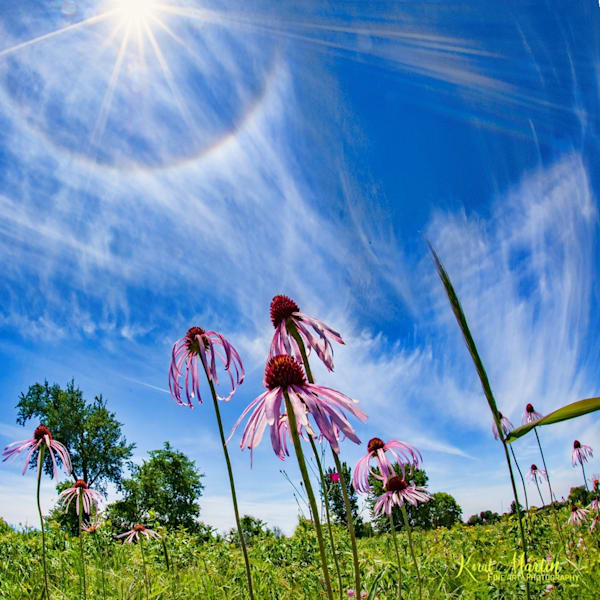 Sun Halo and Coneflowers  Photograph 0927 | Prairie Photography | Wildflowers | Koral Martin Fine Art Photography