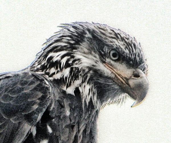 eagle 1shirt