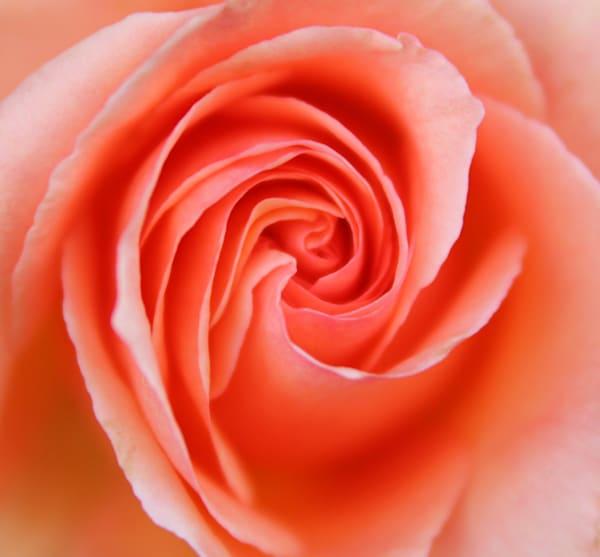 IMG 1921 rose