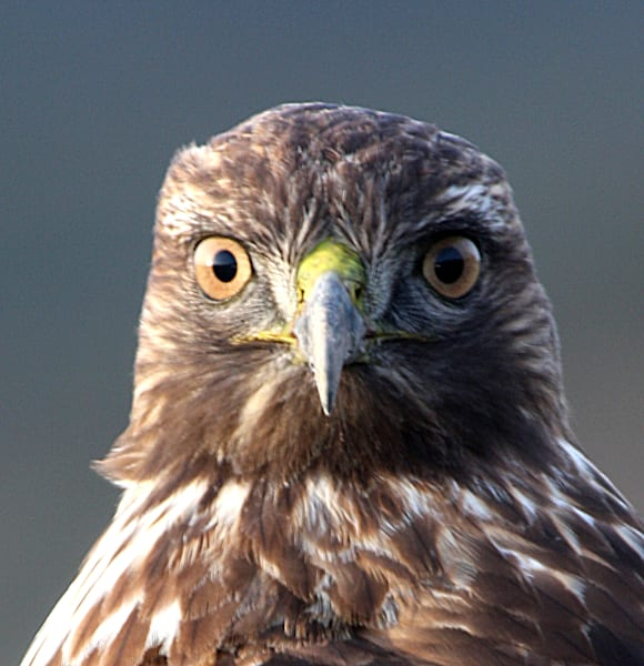 hawk face
