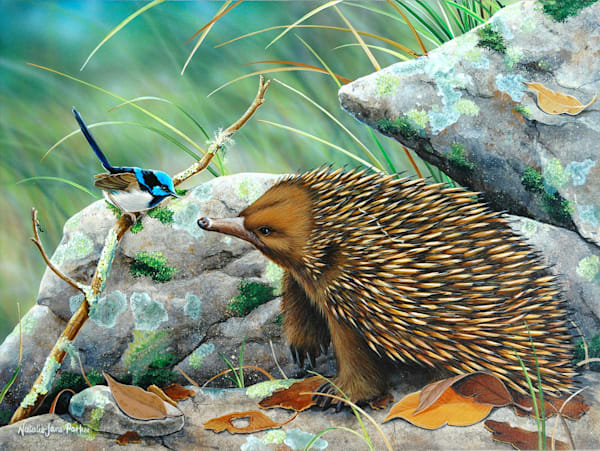 The Chatterbox - Echidna and Male Superb Fairy Wren | Australian Native Wildlife