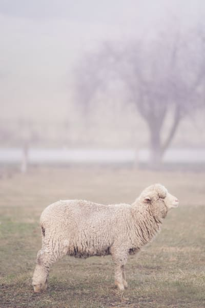 'Wool & Fog' Photograph by Jess Santos for sale as Fine Art