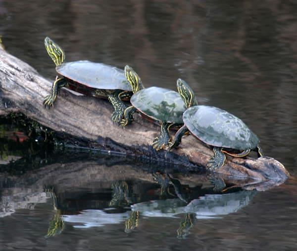 ridgefield turtles