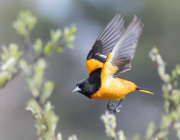 Baltimore Oriole In Flight Art   Sarah E. Devlin Photography