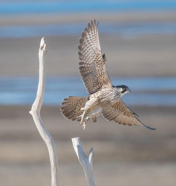 Flight Of The Falcon Art   Sarah E. Devlin Photography