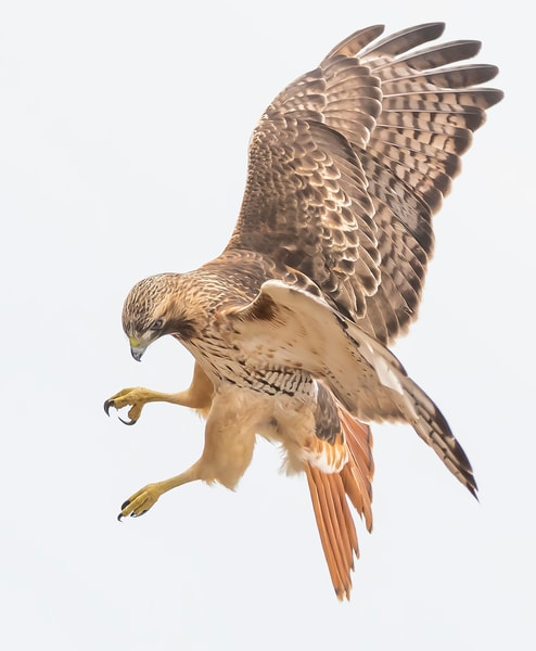 Red-Tailed Hawk - Eye the Target