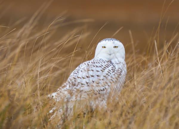 Snowy Owl in Marsh