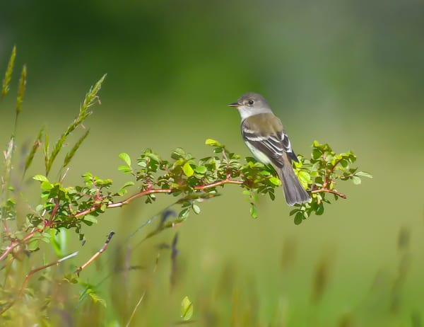 Willow Flycatcher Art | Sarah E. Devlin Photography